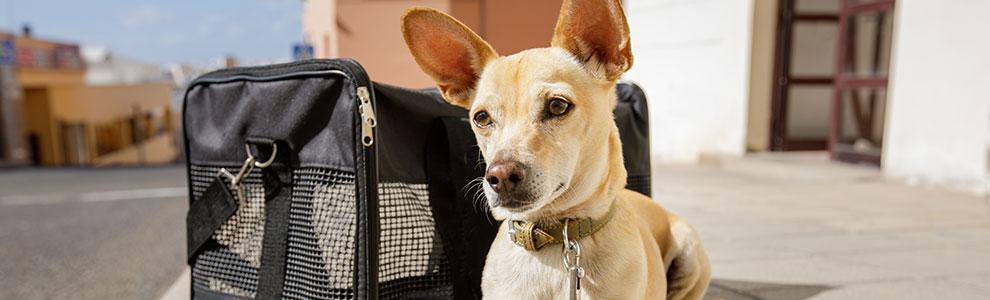Dog Airplane Travel