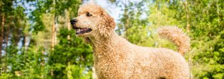 Hypoallergenic Dog Breeds For Your Home