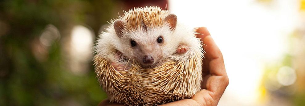 Hedgehog Emotional Support