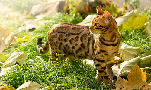 Bangel Cat