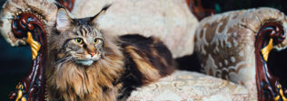Are You Considering A Domestic Exotic Cat Breed?